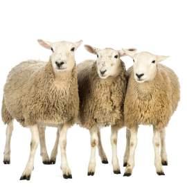 Villanypásztor szett juhoknak