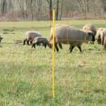 Juh vagy kecske háló villanypásztor drótozással